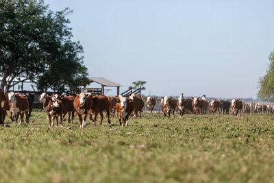 En el sur de Brasil el novillo de punta llega a cotizar US$ 4,70 a la carne