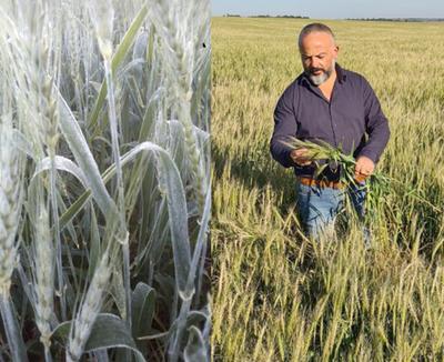 Heladas destruyen plantaciones de maíz y trigo y causan millonarias pérdidas a productores – Diario TNPRESS