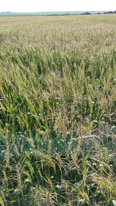 Heladas dejan al menos 30% de pérdidas en plantaciones de trigo