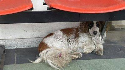 """El """"Hachiko Chileno"""": la historia de un perro que aún espera a su dueño que murió en un hospital"""