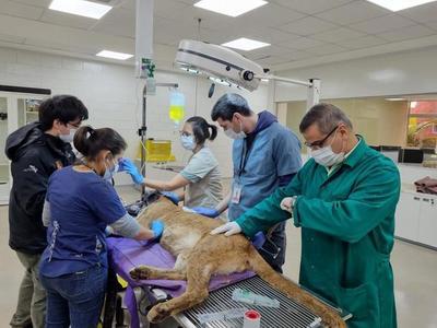 Puma rescatado en Canindeyú se encuentra en buen estado de salud