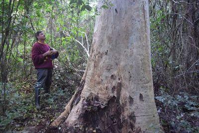Tras la pista del eucaliptus de Bertoni
