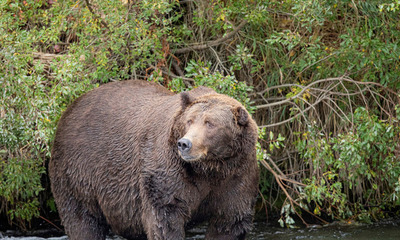 Alaska: Rescatan a un hombre que resistió durante una semana el acoso de un oso