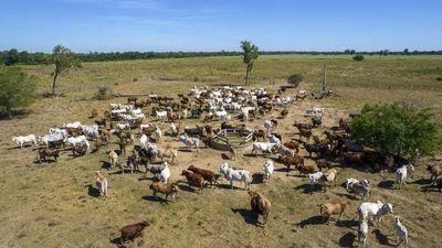 Campos del Chaco trasladan bovinos por sequía y heladas