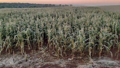 La escarcha causó un  gran daño a  las plantaciones en el Alto Paraná