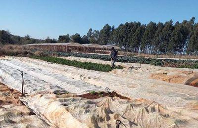 Ante constantes pérdidas por heladas, horticultores esperan ayuda del MAG