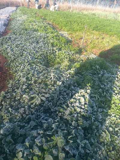 Heladas causan estragos en los cultivos de Alto Paraná