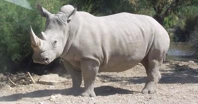 La Nación / Crean doce embriones para salvar al rinoceronte blanco del norte