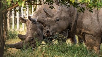 Ningún rinoceronte muerto por la caza furtiva en Kenia en 2020