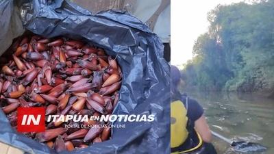 REPRODUCIRÁN EL PINO PARANÁ PARA SU SIEMBRA EN ENCARNACIÓN.