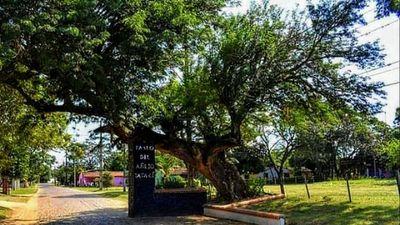 El  tatarê   de Ayolas se  consagró como el   árbol de la gente