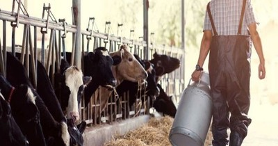 La Nación / Harán remate de vaquillas lecheras de alto nivel genético