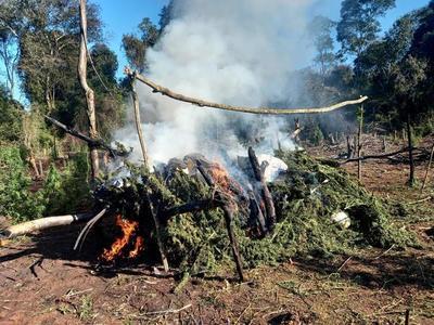 Destruyen tres hectáreas de plantación de marihuana en Mariscal López – Prensa 5