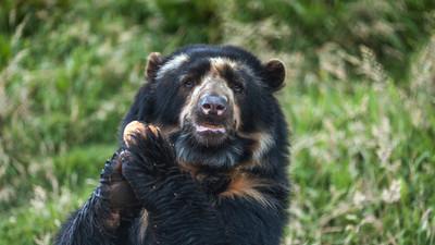 El único oso autóctono suramericano ya tiene territorio protegido en Venezuela