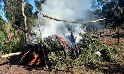 Destruyen plantación de marihuana en Mariscal López