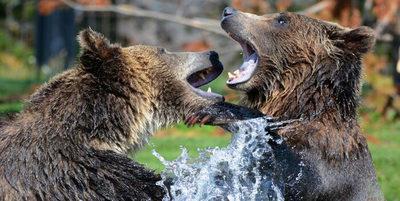 Graban duelo de osos pardos de gran tamaño en Finlandia (Video)
