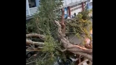 Reportan heridos tras caída de frondoso árbol frente a colegio capitalino