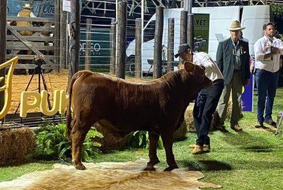 ¡HC es histórico! El Rodeo vendió el 50% de un ternero Brangus de Pukavy en Gs. 239,4 millones