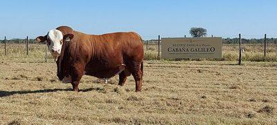 El Rodeo remata reproductores élite y comerciales de Cabaña Galileo, hoy lunes