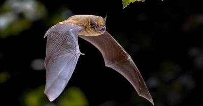 La Nación / La vida del murciélago transcurre entre peligros y secretos