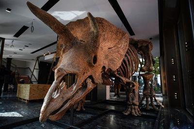 Big John, el mayor dinosaurio tricerátops, será exhibido en París antes de ser subastado