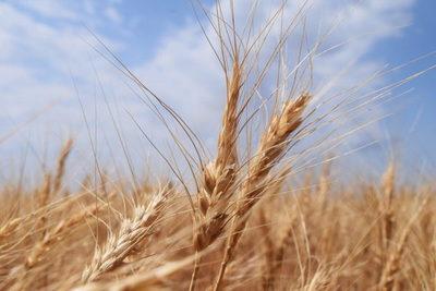 Lluvias favorecen al trigo y esperan más precipitaciones para la siembra de soja