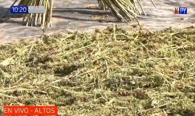Primera cosecha de cáñamo industrial en Altos