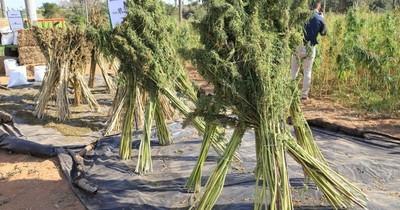 La Nación / Primera cosecha de cannabis industrial genera buenos ingresos a agricultores
