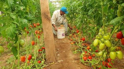 Tomateros golpeados por precios bajos y el contrabando