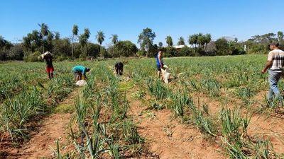 Productor se ve obligado a adelantar su cosecha luego de que le robaran 200 kilos de cebolla