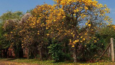 Colonias Unidas se tiñe de colores con los lapachos en flor