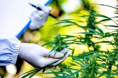 Paraguay podría explotar el negocio mundial del cannabis