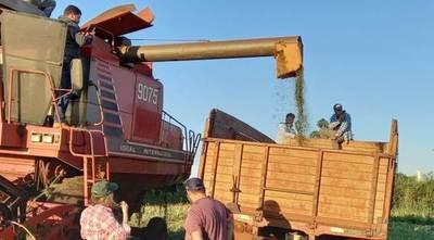 Cáñamo industrial: Se realizó la cosecha mecanizada en los cultivos de San Pedro e Itapúa