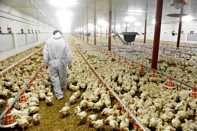 El sector avícola diversifica destinos y logra 28% más de ingresos hasta agosto
