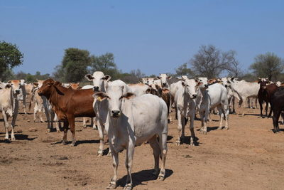 """Casos atípicos de vaca loca """"no ponen en riesgo"""" la venta de ganado en Brasil"""