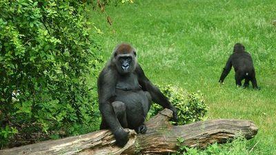 EEUU: Gorilas de un zoológico de Atlanta dan positivo al Covid-19