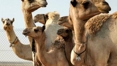 Los camellos clonados para ganar carreras y concursos de belleza