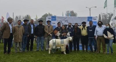 """Expo Prado: Texel mostró en pista """"gran aporte a la calidad de carne"""""""