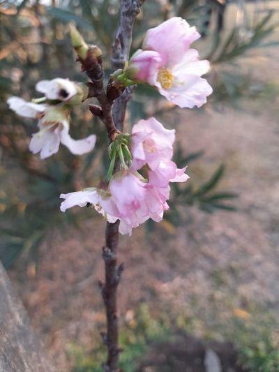 Cerezos japoneses anunciaron la primavera en la Costanera de Asunción