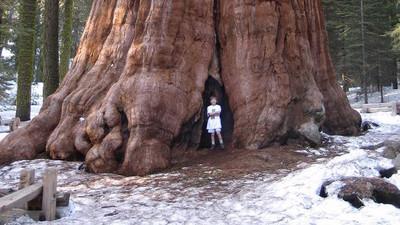 Protegen de incendio al árbol más grande del mundo con una manta resistente al fuego en California