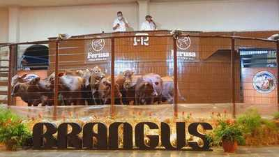 Hoy lunes, Ferusa vende Brangus Junior Alta Selección en la Expo Ganadera