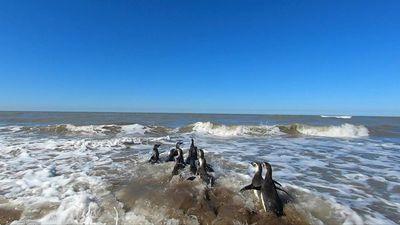 Pingüinos regresan al mar en costa argentina tras proceso de rehabilitación
