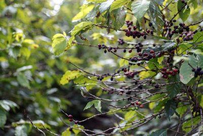 Brasil recogerá este año una cosecha de café 25 % inferior a 2020 por heladas