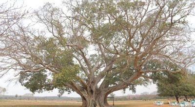 Colosos de la Tierra: Un árbol de Concepción es el más grande del Paraguay