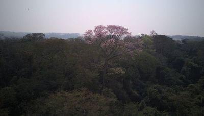 El árbol más grande del Paraguay es un Guapo´y de más de 21 metros de altura