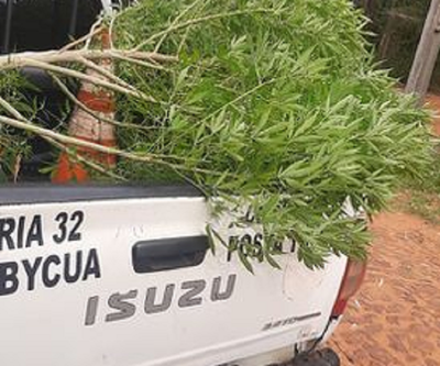 Hallan planta de marihuana de dos metros en un patio baldío de Capiatá