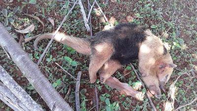 Rescatan a un oso melero herido en Carapeguá
