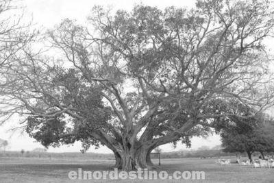 El árbol más grande del Paraguay es un  guapoy de unos quinientos  años de Paso Barreto Departamento de Concepción