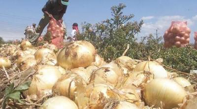 Terrible situación de cebolleros: están hartos del contrabando y decepcionados del Gobierno – Prensa 5
