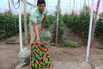 Horticultores cosechan locotes cultivados en invernadero